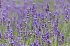 De bloemgebied van de lavendel in de zomer Royalty-vrije Stock Foto's