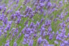 De bloemgebied van de lavendel in de zomer Stock Foto's