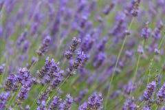 De bloemgebied van de lavendel in de zomer Royalty-vrije Stock Fotografie