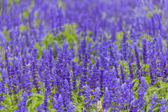 De bloemgebied van de lavendel in de zomer Stock Foto