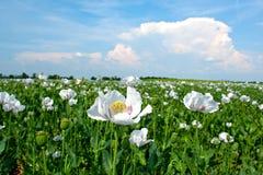 De bloemgebied van de papaver, Hongarije Stock Foto