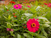 De bloemgebied van Zinnia Stock Afbeeldingen