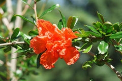 De bloemgranaat is gewoon lat Punica granatum Royalty-vrije Stock Afbeelding