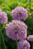 De bloemhoofden van het allium aflatunense Stock Afbeeldingen