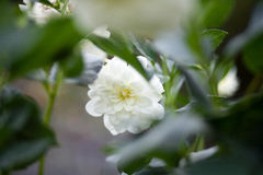 De Bloemist` s madeliefje van chrysantenmorifolium, Sterke tuin mum Royalty-vrije Stock Foto