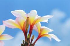 De bloemknop en de bloembloei van een tropische boomplumeria stromen Stock Foto