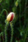 De bloemknop van de papaver royalty-vrije stock afbeeldingen