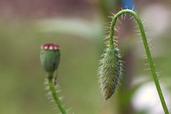 De bloemknop van de papaver royalty-vrije stock foto's