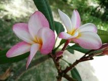 De bloemkoh van reis likestyle frangipani tao Thailand Stock Afbeelding