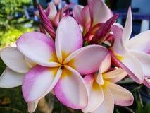 De bloemkoh van reis likestyle frangipani tao Thailand Stock Foto's