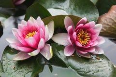 De bloemlotusbloem van Bodhisattva Stock Afbeelding