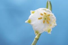 De bloemmacro van de de lentesneeuwvlok Royalty-vrije Stock Foto