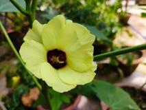 De bloemokra van de damevinger, esculentus Abelmoschus, in vele Engelstalige landen als vingers of ochro die van dames wordt geke stock foto's