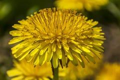 De bloempaardebloem Stock Afbeeldingen