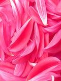 De bloempioen van bloemblaadjes royalty-vrije stock afbeeldingen