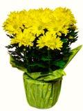 De bloempot van de chrysant met regendalingen Royalty-vrije Stock Foto's