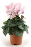 De bloempot van de cyclaam Stock Foto