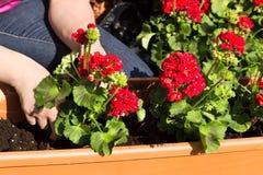 De bloempot wordt gevuld met bloemen Royalty-vrije Stock Foto