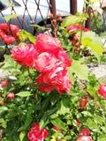 De bloemrozen ontluiken nartural stock afbeeldingen