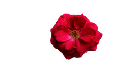 De bloemthee nam met dauw toe Royalty-vrije Stock Foto's