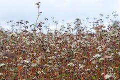 De bloemtuin van boekweitnoedels Boekweitinstallaties met FL stock fotografie