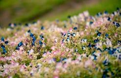 De bloemtuin van de bloembloei Stock Foto