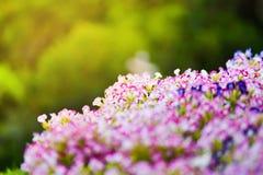 De bloemtuin van de bloembloei Royalty-vrije Stock Foto's