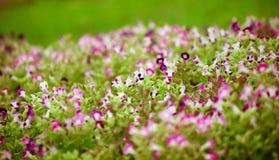 De bloemtuin van de bloembloei Stock Afbeelding