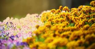 De bloemtuin van de bloembloei Stock Fotografie