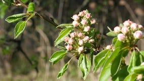De bloesem dichte omhooggaand van de perenboom stock video