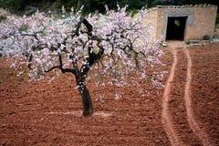 De bloesem en de steen van de amandel die in de Lente, Catalonië, Spanje wordt afgeworpen Stock Fotografie