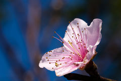 De bloesem Sakura van de kers royalty-vrije stock afbeeldingen