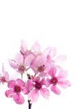 De bloesem Sakura van de kers Stock Afbeeldingen