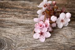 De bloesem Sakura van de kers stock fotografie