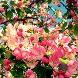 De bloesem van Apple in de lente Stock Foto's