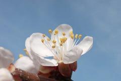 De bloesem van de abrikozenboom Stock Foto