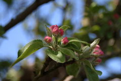 De Bloesem van de appel Stock Afbeelding