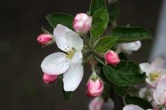 De Bloesem van de appel Stock Afbeeldingen