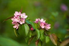 De Bloesem van de appel royalty-vrije stock fotografie