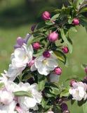 De Bloesem van de appel Royalty-vrije Stock Afbeelding