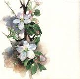 De Bloesem van de appel Stock Foto