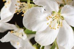 De Bloesem van de appel Royalty-vrije Stock Foto's