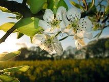 De bloesem van de appel bij zonsondergang Royalty-vrije Stock Afbeeldingen
