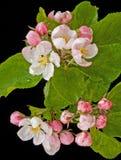 De bloesem van de appel in de lente. Stock Foto's