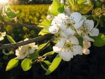 De bloesem van de appel en canolagebied Royalty-vrije Stock Afbeeldingen