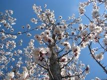 De bloesem van de appel tegen blauwe hemel. Royalty-vrije Stock Afbeelding