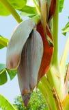 De bloesem van de banaan Royalty-vrije Stock Afbeeldingen