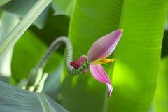 De bloesem van de banaan Stock Foto's