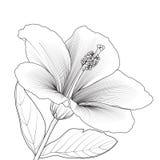De Bloesem van de Bloem van de hibiscus Stock Foto's