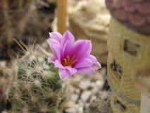 De bloesem van de cactus Stock Afbeelding